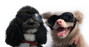 Dog friends with goggles Royalty Free Stock Photo