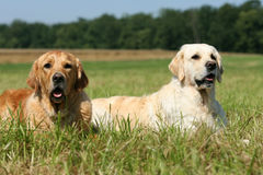Dog friends. Two beautiful Golden Retriever dogs relaxing on a meadow stock photography