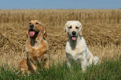 Dog friends. Two beautiful Golden Retriever dogs relaxing on a meadow royalty free stock images