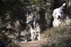 Dog friends. Two cute dog friends Stock Image
