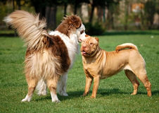 Dog friendship. Apricot dilute sharpei female and her dog friend Royalty Free Stock Image