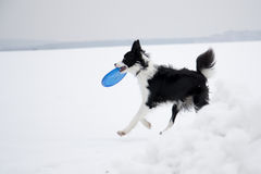 Dog and frisbee Royalty Free Stock Photos