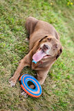 Dog with frisbee Royalty Free Stock Image