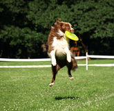 Dog frisbee Royalty Free Stock Image