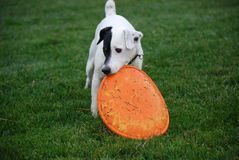 Dog dropping a frisbee on command. Black and white Jack Russell Terrier dropping an orange rubber frisbee from her mouth on a wet green grass Stock Photos