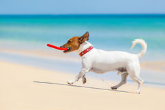 Dog frisbee. Dog catching a red frisbee and running at the beach Royalty Free Stock Images