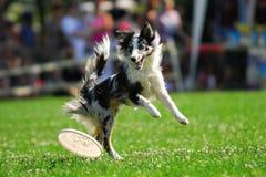 Dog frisbee championship Stock Photo