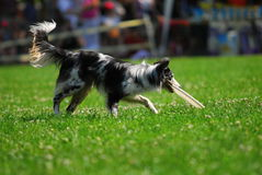 Dog frisbee championship Royalty Free Stock Image