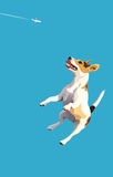 Dog-frisbee3. Dog jumpes at the blue sky background Stock Images
