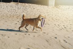 A dog with frisbee running on the sand dune at the beach in the Royalty Free Stock Photos