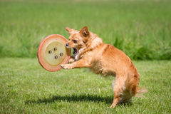 Dog with a Frisbee Royalty Free Stock Images