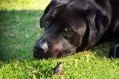 Dog with Frog. A black Labrador laying next to a frog Stock Image