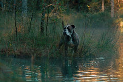 Dog in froggy woodland lake. Big Bulldog at froggy autum morning light in the Swedish woodland lake royalty free stock image