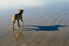Dog frolicking on beach in Cape Town, South Africa. Boxer dog (Rhodesian Ridgeback) on the beach at Bloubergstrand, Cape Town, South Africa Royalty Free Stock Image