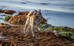 Dog Frolicking at Low Tide. This dog was jumping from tide pool to tide pool at La Jolla in San Diego stock photo