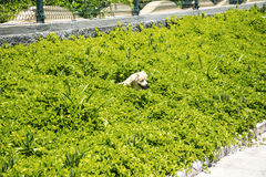 Dog frolicking in the plants  near the fort of Sao Tiago in Funchal Madeira Royalty Free Stock Photos