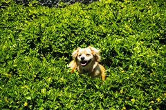 Dog frolicking in the plants  near the fort of Sao Tiago in Funchal Madeira Stock Image
