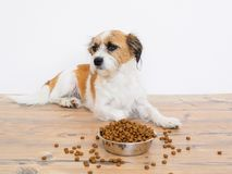 Dog in front of a dog bowl with dry food stock photography