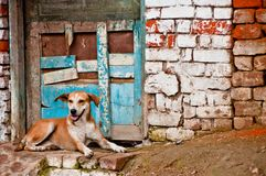 Dog in front of brick wall in Nepal Royalty Free Stock Image