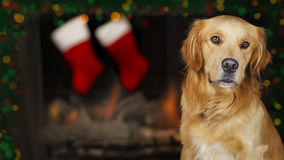 Dog In Front of Christmas Fireplace. Closeup of dog in front of fireplace with Christmas stockings and lights Stock Images