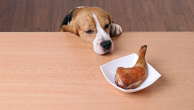 Dog in front dish on table and looking piece chicken Royalty Free Stock Image