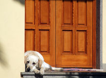 Dog in front of the door. White dog in front of a house's door royalty free stock image