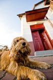 Dog at front of house Stock Images
