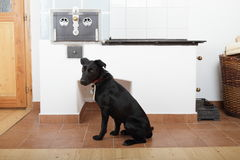 Dog in front of old stove with oven. Black dog sitting in front of renewed old stove with oven - historical heater in rebuilt room stock photography