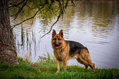 Dog front of river. Dog stand front of river Stock Photography