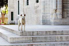 Dog in front of Suleymaniye Mosque  - Istanbul. Dog in front of Suleymaniye Mosque in Istanbul Stock Photography