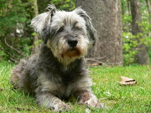 Dog in front of tree. Schnauzer Stock Image
