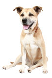 Dog in front of a white background. American Staffordshire terrier in front of a white background stock photo