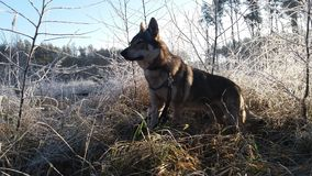 Dog in frozen forest royalty free stock photos