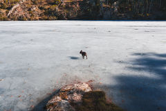Dog in a Frozen lake Royalty Free Stock Photo