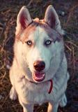 Dog fun. Funny husky, husky want to play Stock Photo