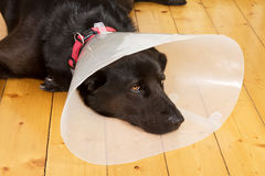 Dog with funnel Stock Photography