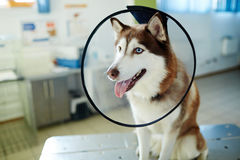 Dog with funnel collar. Husky dog with funnel collar during visit to vet royalty free stock photo