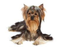 Dog with funny bang of hair Royalty Free Stock Images