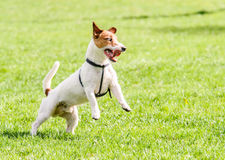 Dog with funny crazy look. Jack Russel Terrier playing on green grass at sunny day Royalty Free Stock Images