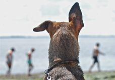 DOG WITH THE FUNNY EARS ON THE BEACH Stock Image