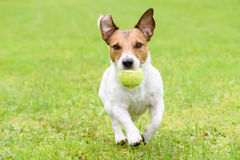 Dog with funny ears running with ball. Jack Russell Terrier playing with tennis ball Royalty Free Stock Images