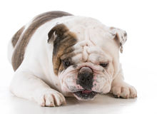 Dog with funny expression Stock Photography