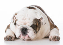 Dog with funny expression Stock Photos