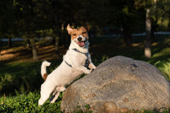 Dog with funny face expression.  Jack Russell Terrier walking at Royalty Free Stock Images