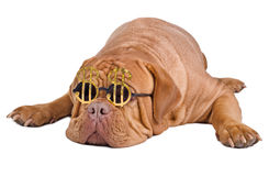 Dog with funny glasses with dollar sign. Sleeping dog of dogue de bordeaux breed with funny glasses with dollar currency sign stock images