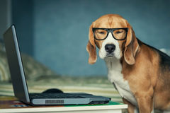 Dog in funny glasses near laptop. Sleepy beagle dog in funny glasses near laptop royalty free stock photos