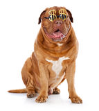 The dog in the funny glasses is sitting Stock Image
