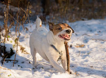 Dog with funny stupid face expression playing with a stick. Jack Russell Terrier at winter forest Stock Images