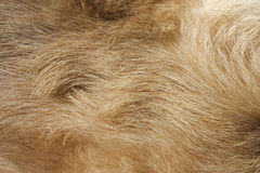 Dog fur. Close up of wavy dog fur Royalty Free Stock Photography
