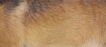 Dog fur. Close up of a beige dog fur Royalty Free Stock Photo